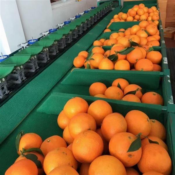 红美人分级机水果机多种水果可用