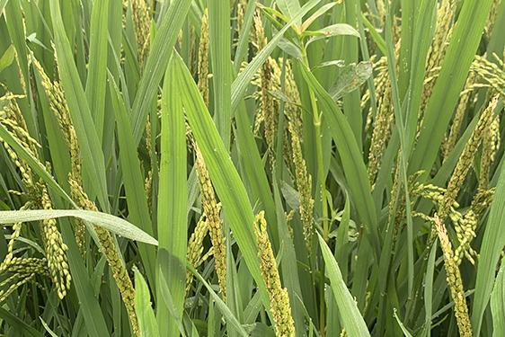2021年水稻抗灾夺丰收技术意见