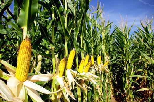 山东省关于组织排涝收获机械支援农田积水较重地区抢收玉米的紧急通知